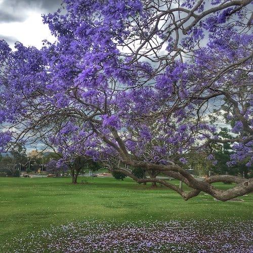 Jacaranda Trees in Brisbane - UQ Campus