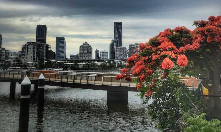 Flamboyant tree in Brisbane in New Farm with the City and the river in the background