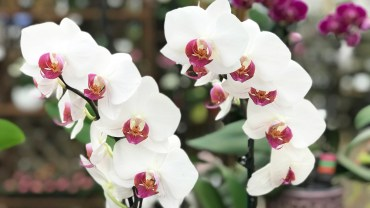 "Orchids Sold From ""Big Box"" Stores"