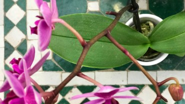 Orchid Leaves: Cleaning