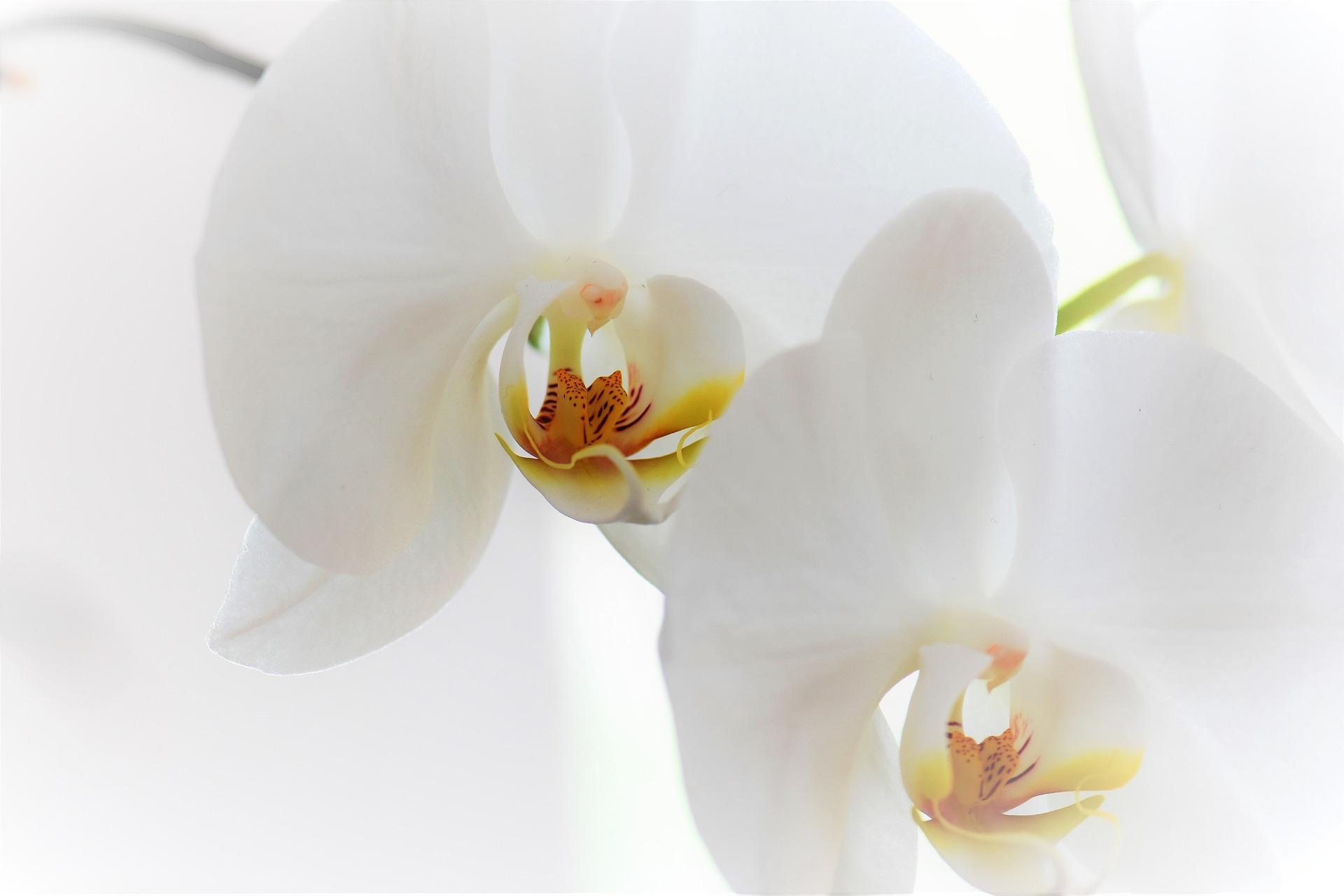 Blue Orchid Phalaenopsis: Myth or Reality 46