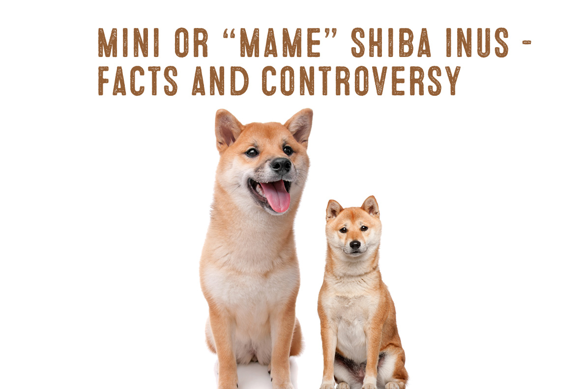 Mini Shiba Inu Breed Information