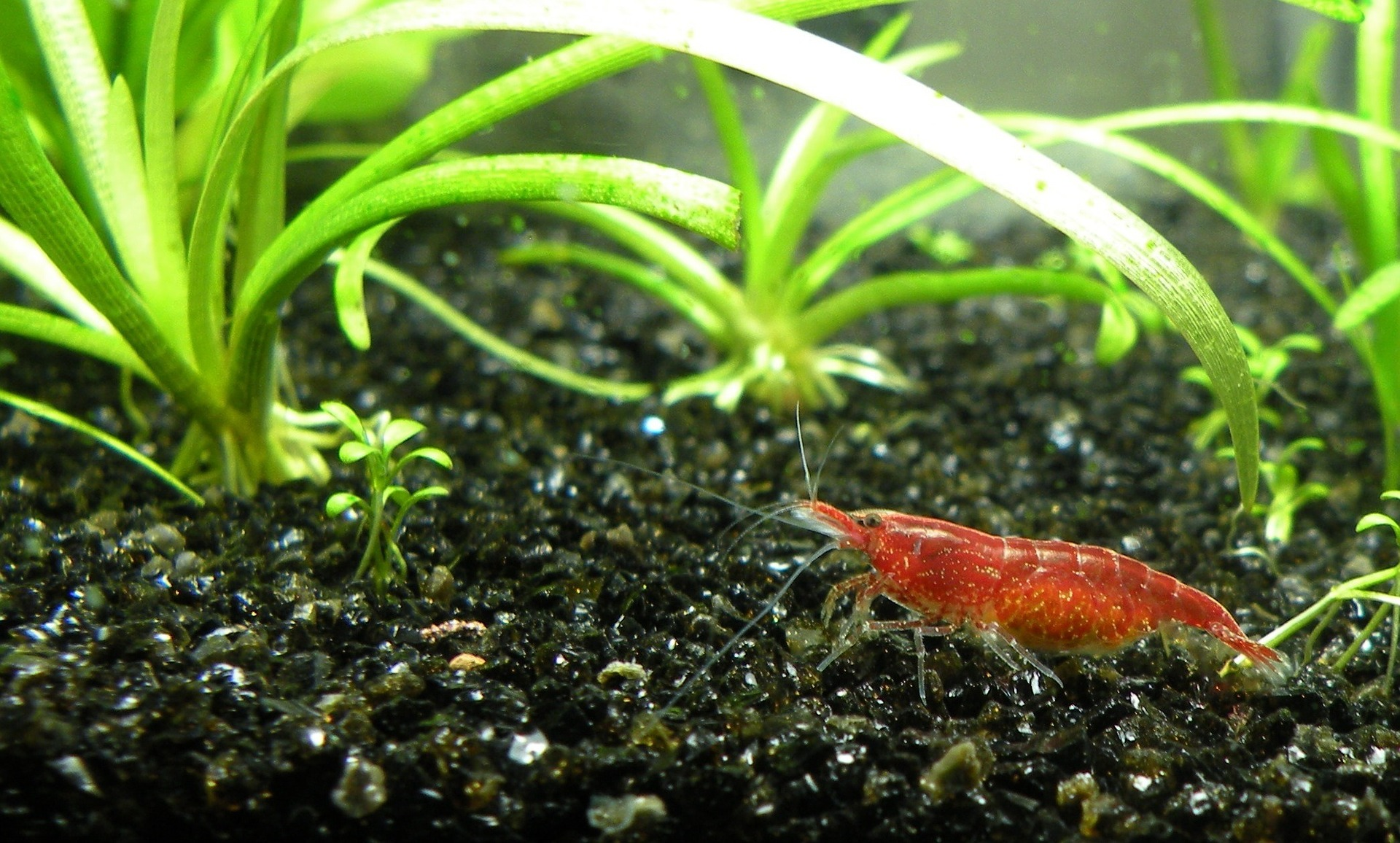 What are the Differences between  Male vs Female Cherry Shrimp?