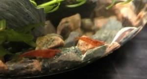 male vs female cherry shrimp