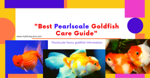 Pearlscale Goldfish Full Care Guide: Fancy Goldfish information