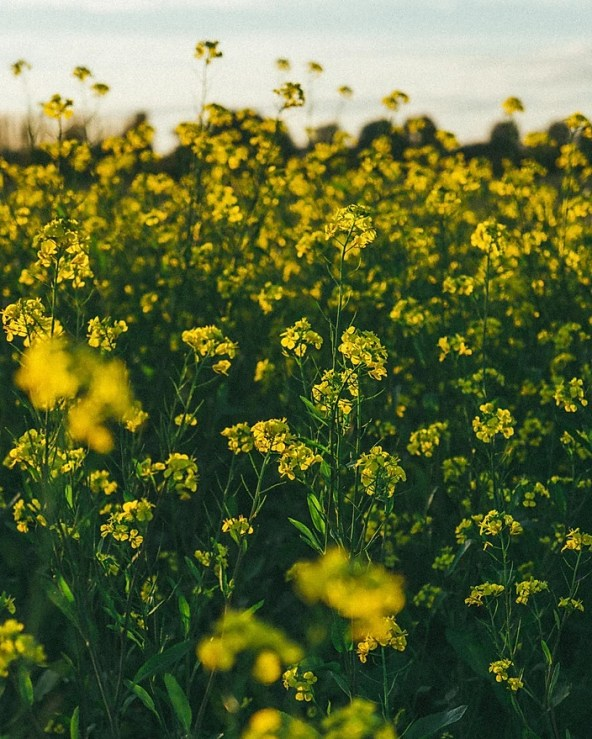3 Reasons Canola Oil Is Bad For You: Medical Daily | myfoodistry