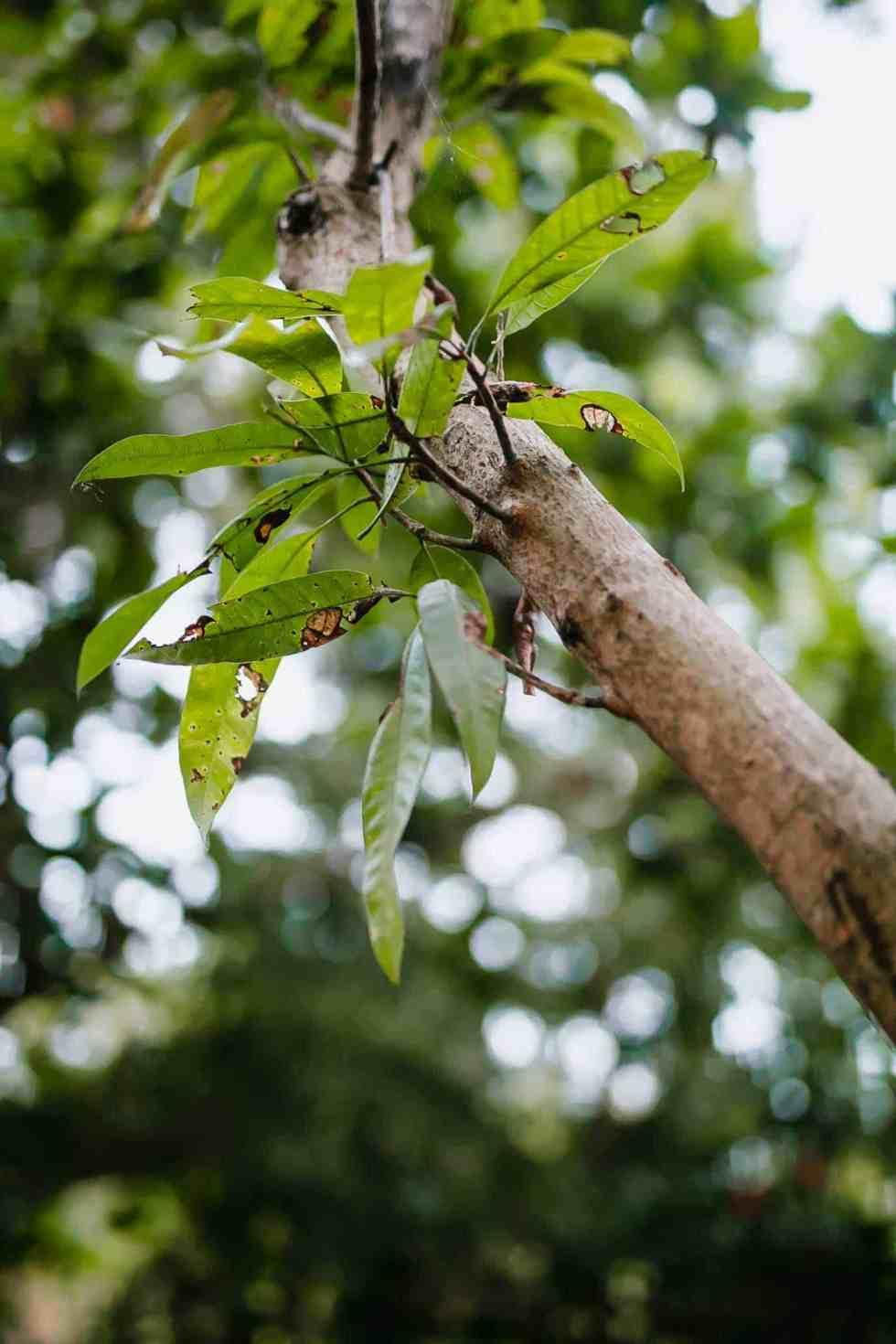 Our mango tree