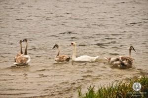Лебеди около Словенских ключей