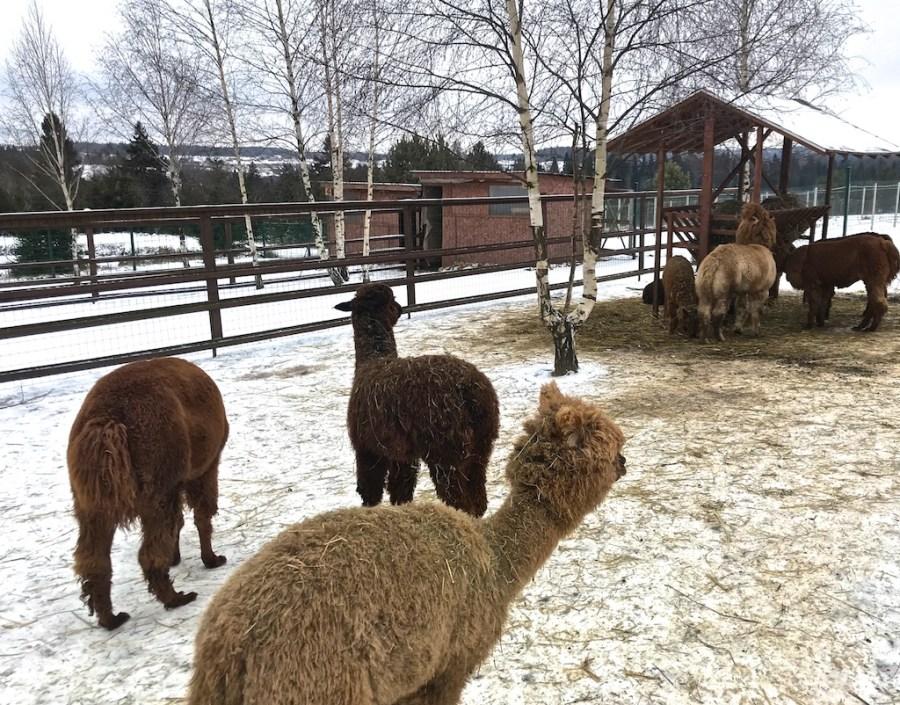 Ферма Российские альпака в Подмосковье