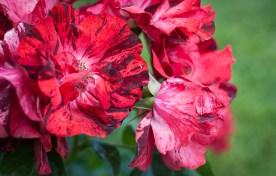 Roses in Rome 2013 (18 di 40)