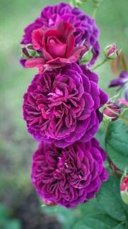 Roses in Rome 2013 (32 di 40)
