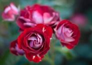 Roses in Rome 2013 (36 di 40)
