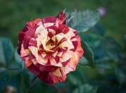 Roses in Rome 2013 (37 di 40)
