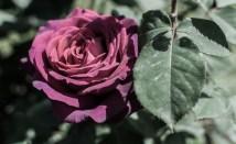 Roses in Rome 2013 (38 di 40)