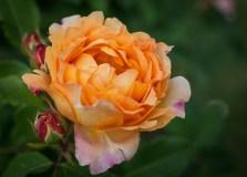 Roses in Rome 2013 (9 di 40)