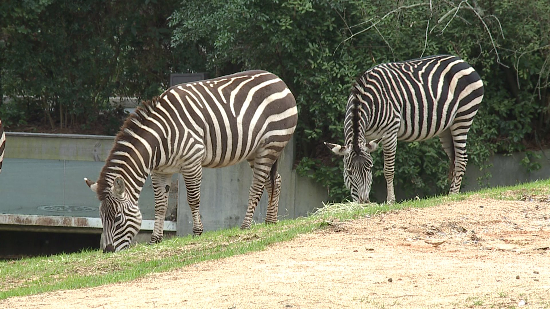 Zebras find home at North Carolina Zoo