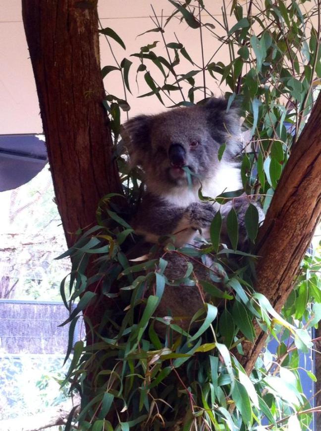 Koala munching on gum leaves