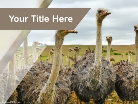 Free Ostrich PPT Template