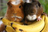 Can Guinea Pigs Eat Bananas