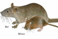 What is the Difference Between a Rat and a Mouse