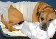Caring for Dog After Spay Surgery