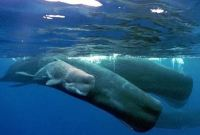 How Long can Whales Hold their Breath