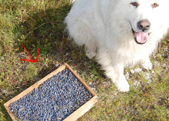 Are Blueberries Bad for Dogs