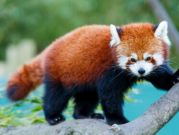 Do you know the Red Panda