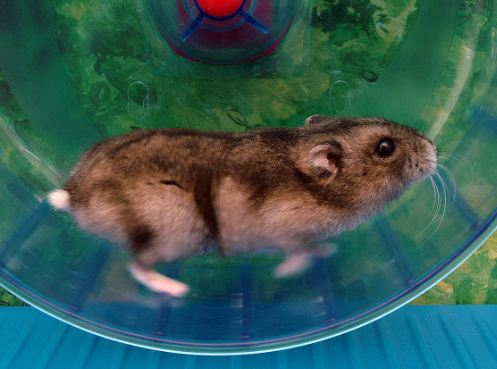 How to Train a Hamster to Ride on the Swivel Wheel