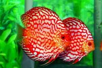 How to Keep Discus Fish Healthy