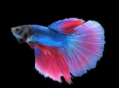 Varieties of Betta Fish 1