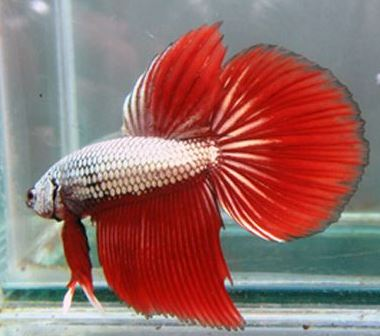Varieties of Betta Fish 2
