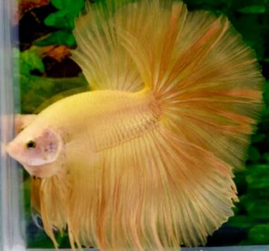 Varieties of Betta Fish 4