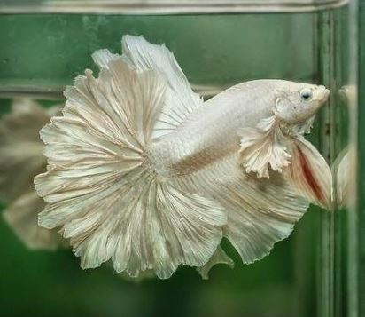Varieties of Betta Fish 5