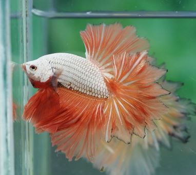 Varieties of Betta Fish 6