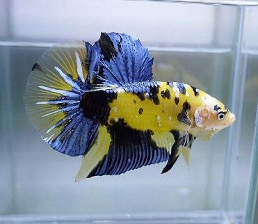 Varieties of Betta Fish 7