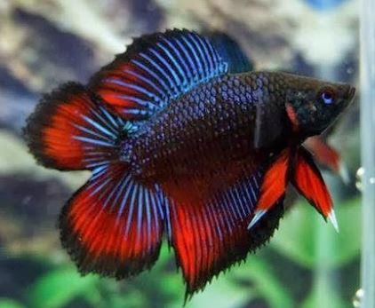 Varieties of Betta Fish 9