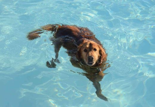 Steps to Teach the Dog to Swim Safely