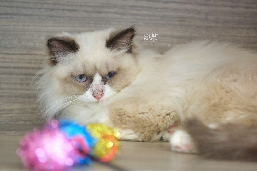 Muffin at Cutie Cats Cafe by Myfunfoodiary
