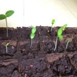 野菜(きゅうり、カリフラワー)の芽が順調に育ってきています