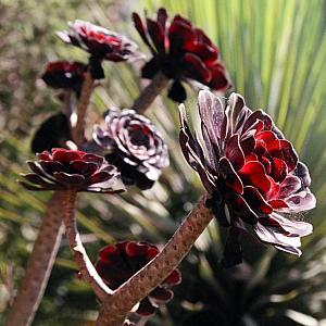 aeonium_arboreum_atropurpureum