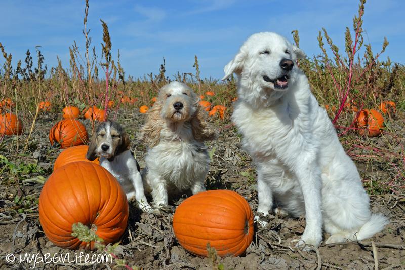GBGV Kuvasz in the pumpkin patch wind