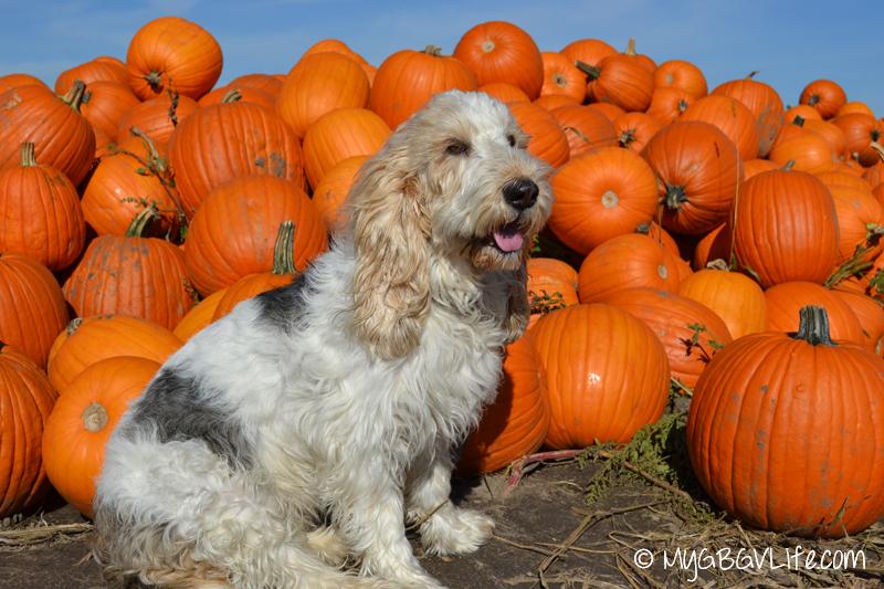 GBGV Pumpkins galore