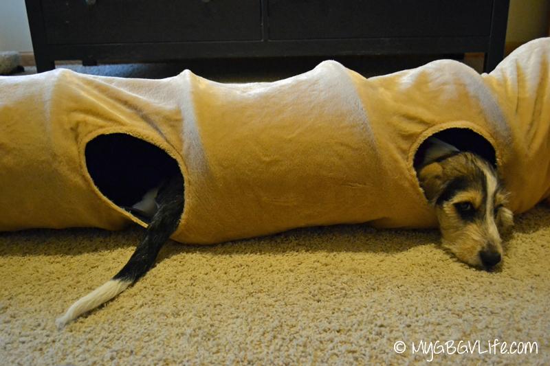 My GBGV Life puppy in cat tunnel