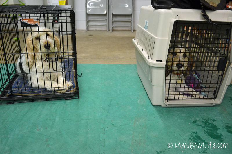 My GBGV Life in kennels