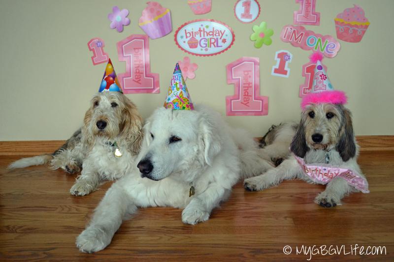 GBGV Kuvasz ready for first birthday party