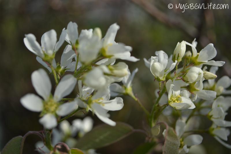 My GBGV Life spring flowers