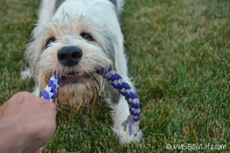 My GBGV Life Bailie playing tug with the rope
