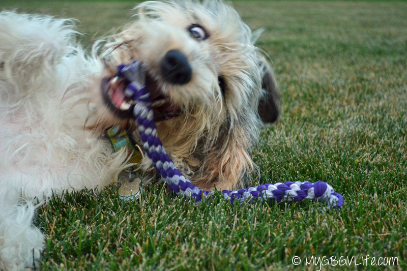 My GBGV Life Bailie goes wild with rope toy