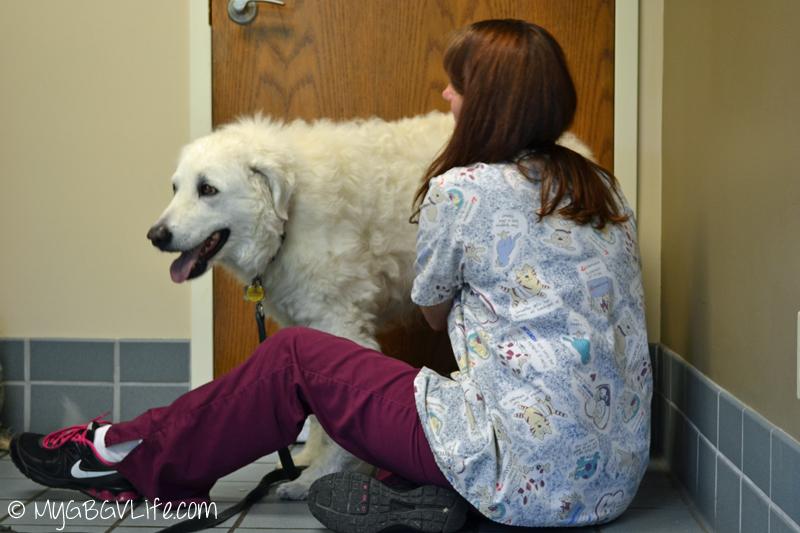 My GBGV Life Katie at her vet visit